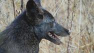 Stock Video Footage of Coyote Black