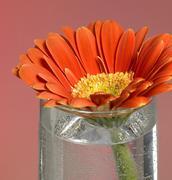 Stock Photo of gerbera flower closeup