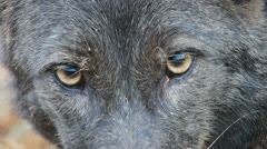 Coyote Eyes Stock Footage