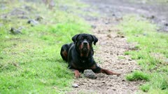 One year old Rottweiler playing with a rock, barking and growling Stock Footage