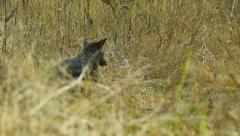 Coyote Black Stock Footage