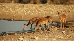 Impala antelopes at waterhole, Etosha National Park, Namibia Stock Footage