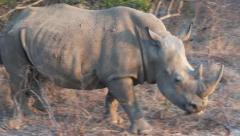 Rhinoceros close up Stock Footage
