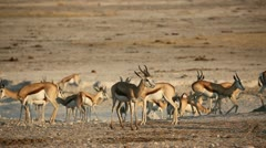 Springbok antelopes at waterhole Stock Footage