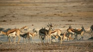 Stock Video Footage of Springbok antelopes at waterhole