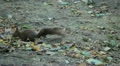 Squirrel Looking, Eating, Running, Searching for Winter Season in Autumn Day Footage