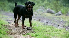 One year old Rottweiler playing with a rock, barking and growling - stock footage