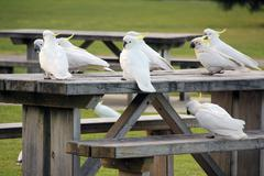 Sulphur Crested Cockatoos sitting on a table - stock photo