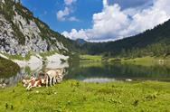 Idyllic pasture in the mountains with a group of cows Stock Photos