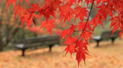 Park in autumn. Red maple twig with benches in the background. Stock Footage