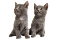 Two grey kittens on white background Stock Photos