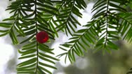Stock Video Footage of Yew Tree leaves and red berry