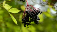 Black Current Fruit Stock Footage