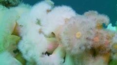 Plumoce anemoni Stock Footage