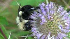 Bumble Bee feeding 2.mp4 - stock footage