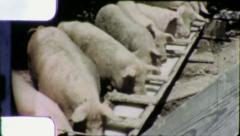GIANT HOGS EAT Pigs Pig Farm 1960 (Vintage Old Film Home Movie Footage) 5714 Stock Footage
