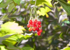 Arrow wood red berries closeup shallow dof Stock Photos