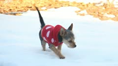 Small dog in a sweater playing in the snow 1 Stock Footage