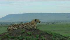 Cheetah on mound Stock Footage