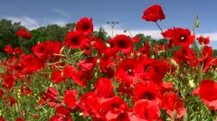 Beautiful Poppy Flowers in Mecklenburg - Baltic Sea, Northern Germany Stock Footage