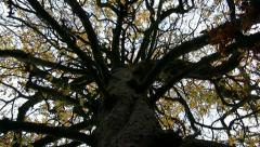 Horse Chestnut tree in Autumn, Shropshire Stock Footage