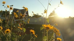 Sunflowers and a kids play house 4 Stock Footage