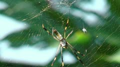 Golden silk orb weaver (web spider) in her web Stock Footage