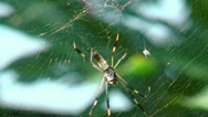 Stock Video Footage of golden silk orb weaver (web spider) in her web