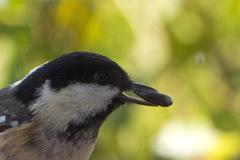 coal tit (periparus ater) - stock photo