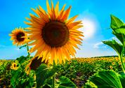 Stock Photo of big sunflower in sunny blue sky
