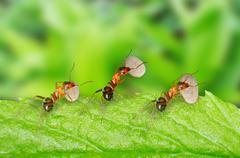 ants carrying food - stock photo
