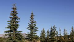 Pine Trees On Sunny Day Stock Photos