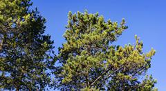 Top Of Pine Trees On Blue Sky - stock photo