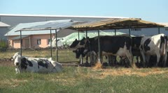 Cows at Farm Stock Footage