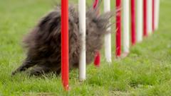 Dog agility with pet doing slalom between hurdles - stock footage