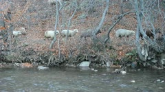 Sheep flock passing through forest next to river Stock Footage