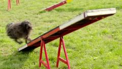 Animal agility with dog running on hurdle - stock footage