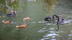 Swans and ducks feeding on water - stock footage