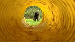 Animals and agility, dog running through tunnel Stock Footage