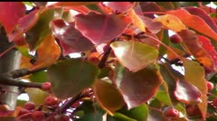 Autumn Cherry Tree Leaves and Fruit Stock Footage
