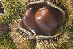 Chestnuts in their burs. Stock Photos