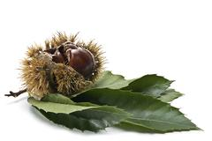 Chestnuts with leaves and burs. Stock Photos