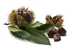 Stock Photo of chestnuts with leaves and burs.