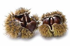Stock Photo of chestnuts in their burs.