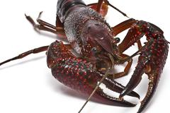 Crayfish with big claws. Stock Photos