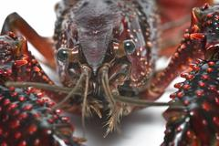 crayfish head. - stock photo