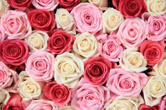white and pink roses in arrangement - stock photo