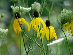 blackeyed susan and queen anns lace - stock photo