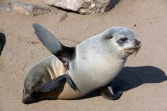 Young seal at cape cross namibia - stock photo