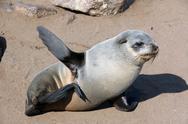 Young seal at cape cross namibia Stock Photos